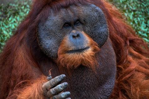 Sumatran Orangutan (Pongo abelii) ~ Indonesia 2010. Balifornian Tours